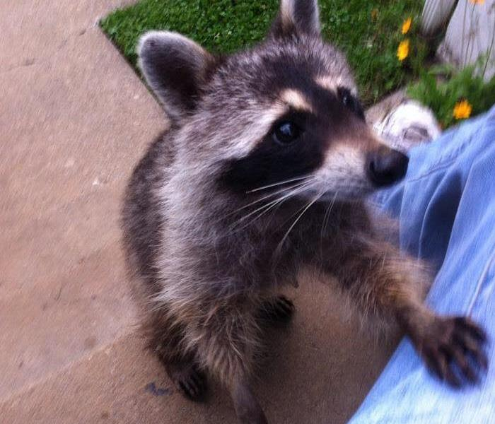 Raccoons damage Cape Cod Home
