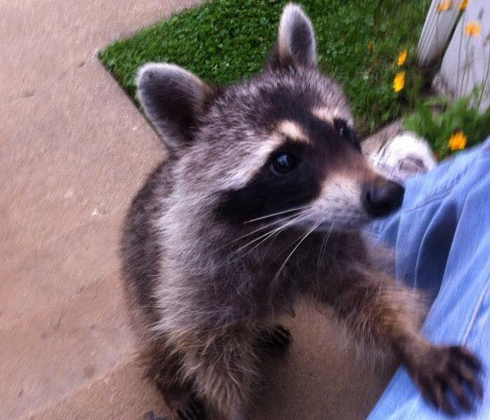Biohazard Raccoon Family are the unwanted guests in an Osterville, MA Home